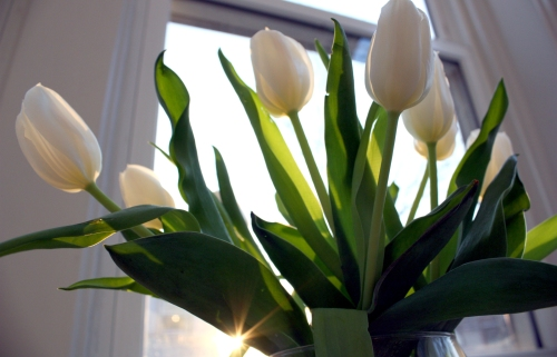 Morning tulips.