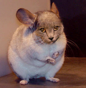 Would you rather have a Chinchilla Porpus....