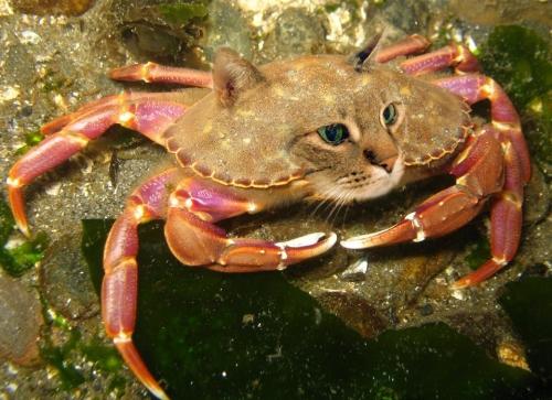 ...or a Dungeness Schween Crab?
