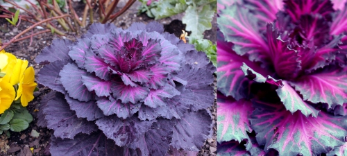 Purple (Kale?)(Cabbage?) is creeping up in the ranks of awesome. Onion skin better watch its back.