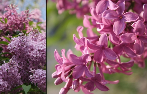 "Tis the season for lilacs. Being from Michigan, I pronounce this ""LIE-laaacks"""