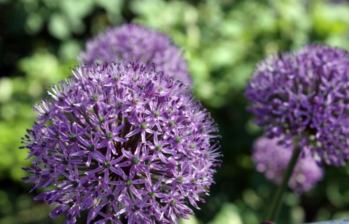 Morning, Dr. Suess-puff-ball-purple-flowers!