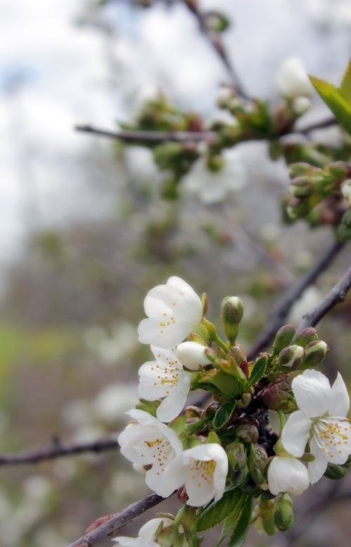 And if you are in to orchards–cherry or apple–you will be highly satisfied.