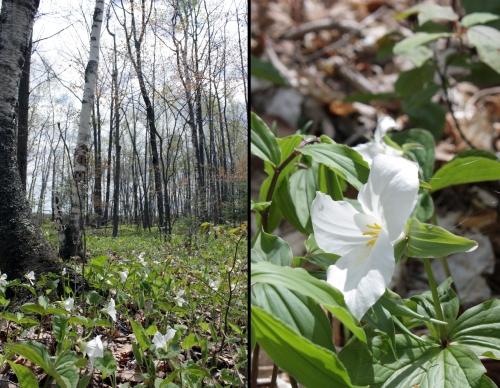 WhiteFlowerwoods