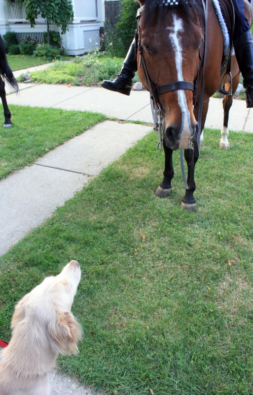 This is Latte the dog. He wants to pet the horses too.