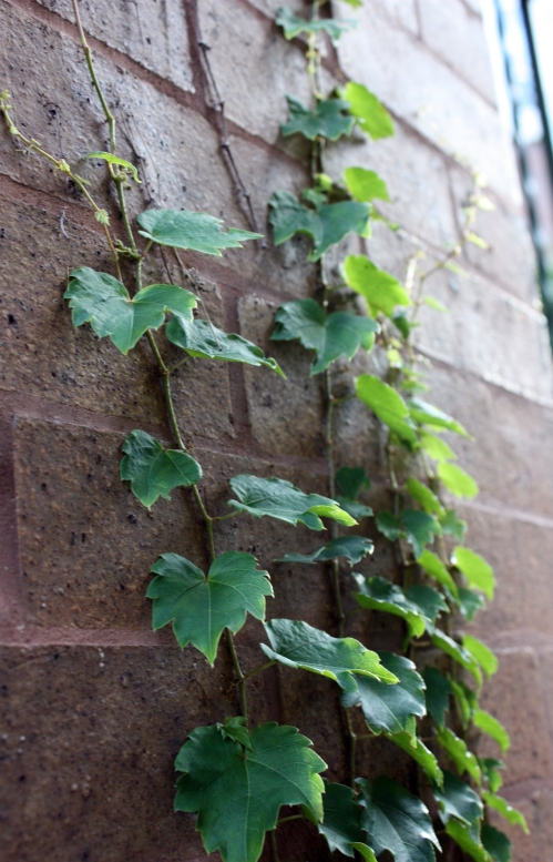 Last year, our landlord tore down ALL the ivy that was growing on the front of the house. This made me really sad for awhile, but I noticed it is growning back as strong as ever! (Insert metaphor here)