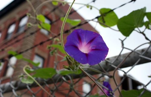 I have a lot in common with the morning glories that climb the fence near my train. Here is how they look before lunch.