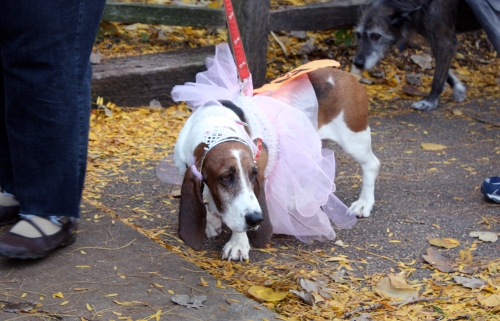 This is the runner-up in my book. Yes, on second thought, felines likely PLANNED this event, just to see the canines in this weakend state. Paraded around in cute humiliation.